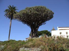 icod drachenbaum